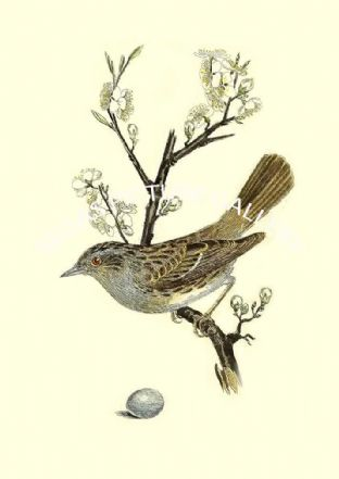 Hedge-Sparrow - Sylvia Modularis